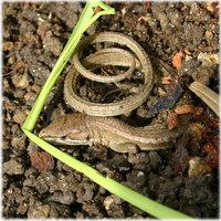 冬眠中のカナヘビさん