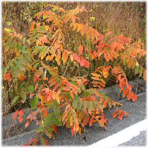 11/13紅葉したハゼの木