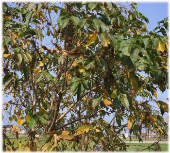 うるしの木