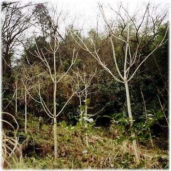 阿波うるしの木(山城町)