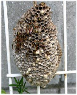11/21ハチさんの巣