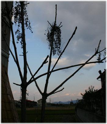 11/21漆の木の様子2