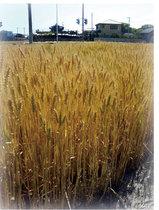 香川県のむぎ畑