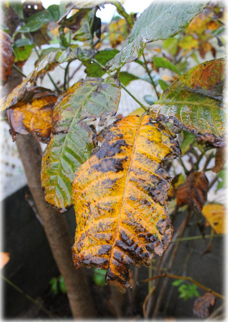 台風のウルシの葉