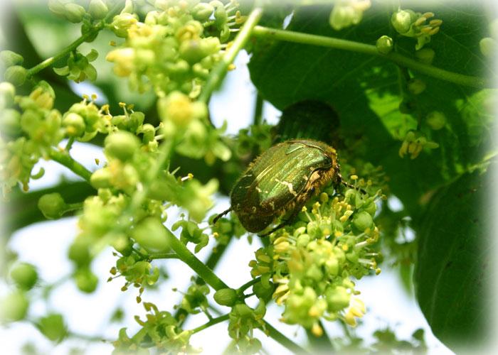 ウルシの雄花2