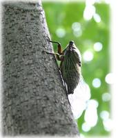 ウルシの木とセミ