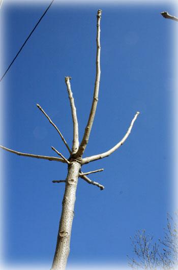 ウルシの木