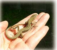 カナヘビさん