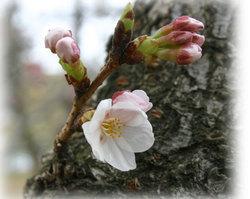 丸亀城 桜1