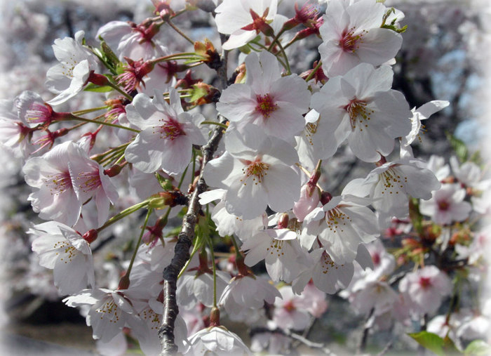 香川県の桜2