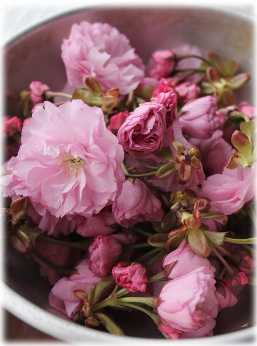 桜の塩漬け 八重桜