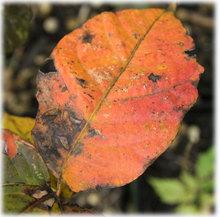 ウルシの葉