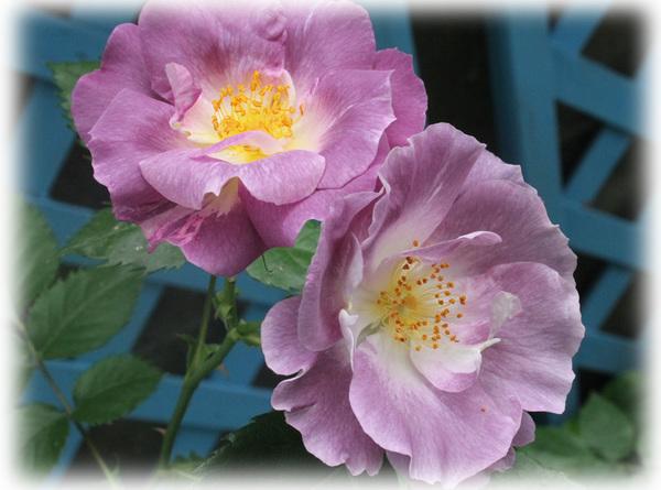 花へんろ 薔薇5