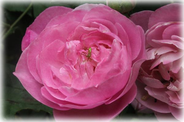 花へんろ 薔薇2