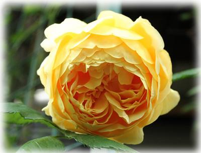 花へんろ 薔薇4