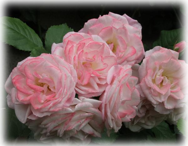 花へんろ 薔薇1