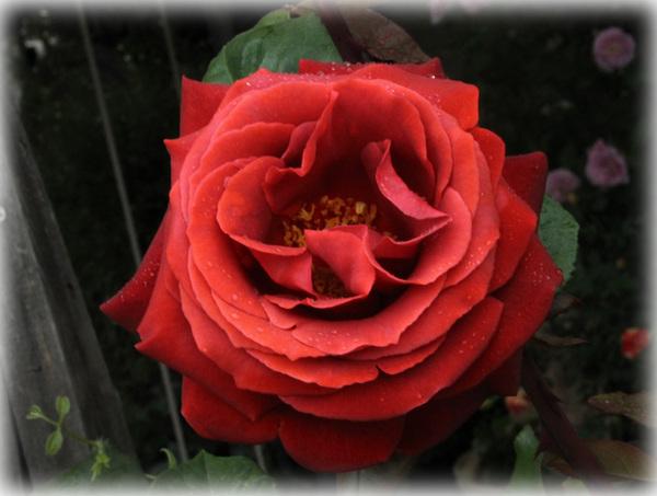 花へんろ 薔薇7