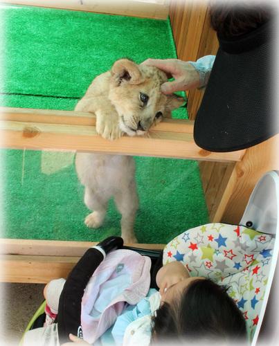 ライオンさんとこんにちは。