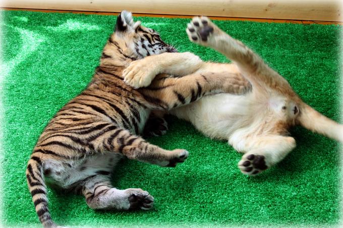 トラとライオン赤ちゃん1