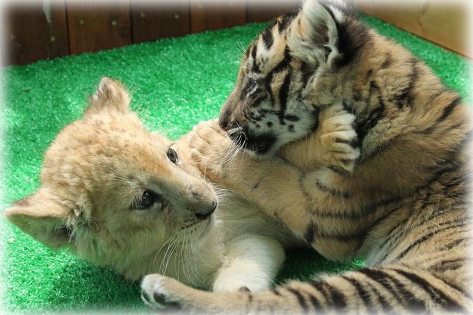 トラとライオン赤ちゃん4