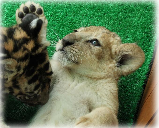 トラとライオン赤ちゃん5