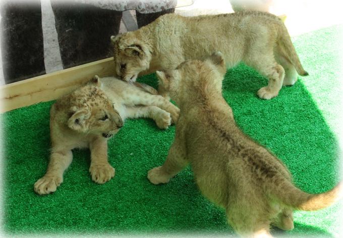 しろとり動物園 ライオンベビー兄弟