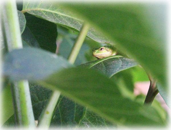 ウルシの葉とカエル