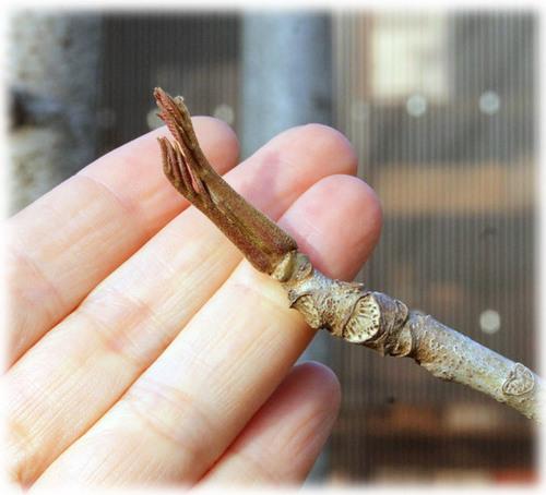 ウルシの芽