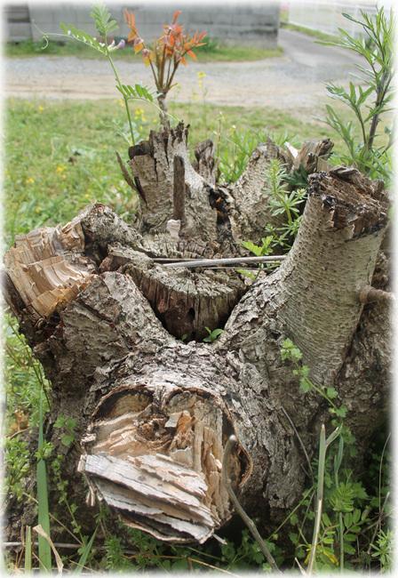 漆掻きあとのウルシの木