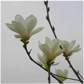 3/23モクレンの花2
