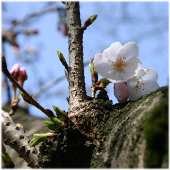3/27 護国神社の桜