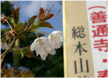 3/28善通寺の桜1