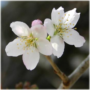 3/28善通寺の桜3