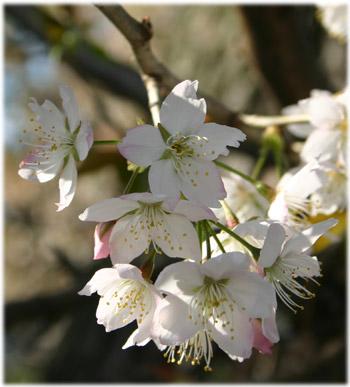 3/28善通寺の桜2