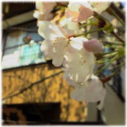 3/30桜