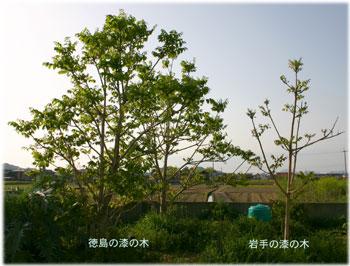 4/232種の漆の木