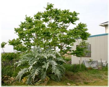 4/30 庭の漆の木