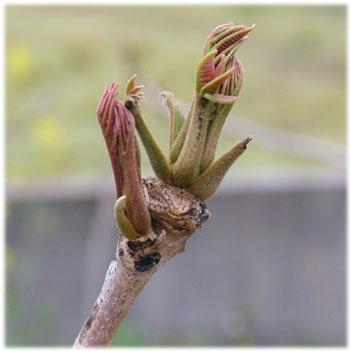 4/9工房の庭のウルシの芽1