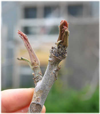 4/9工房の庭のウルシの芽2