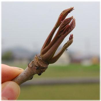 4/9工房の庭のウルシの芽3