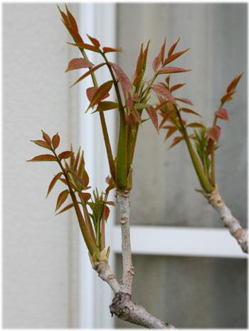 4/9工房の庭のウルシの芽4