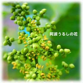 比較/阿波うるしの花