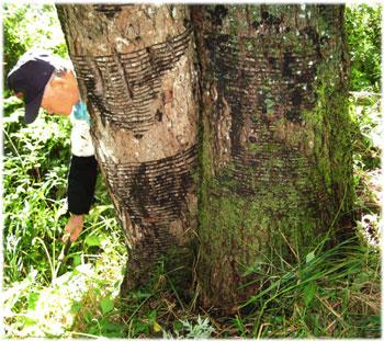 60才のウルシの木