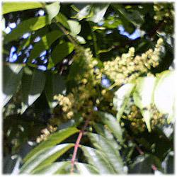 6/23岩手県のウルシの花