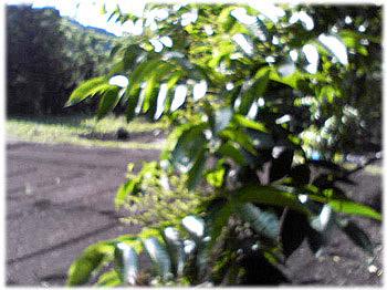 6/23岩手県の漆の木