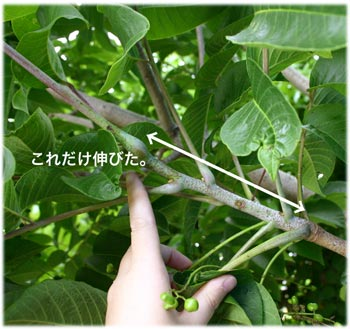 6/25漆の枝の伸びぐあい