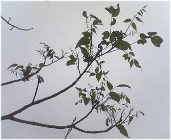 6/28竹内さんの浄法寺の漆の写真3