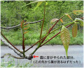 6/28竹内さんの浄法寺の漆の写真