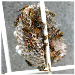 7/30アシナガバチの巣
