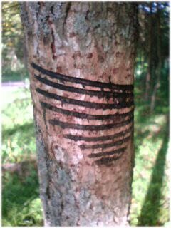 漆かき(盛り)の木